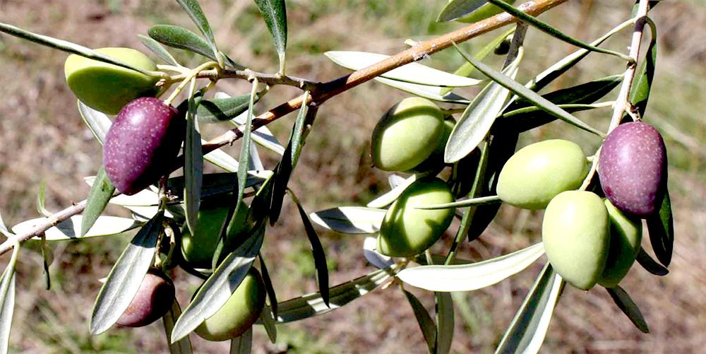 Conocer para valorar el aceite de oliva X