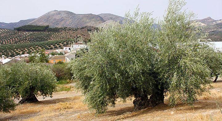 El turismo gastronómico incorpora el aceite de oliva dada su popularidad