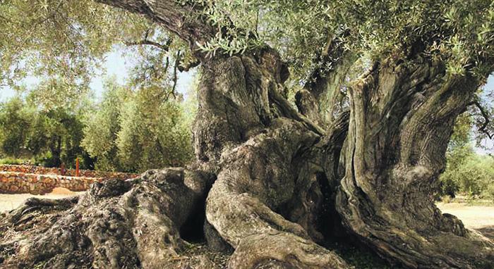 El olivo más viejo de España tiene 1.703 años y está en Tarragona