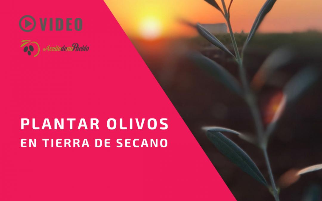 Cómo plantar olivos en tierra de secano
