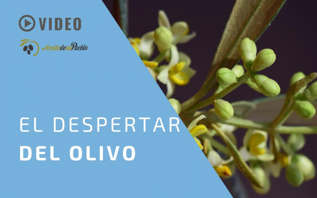 EL DESPERTAR DEL OLIVO